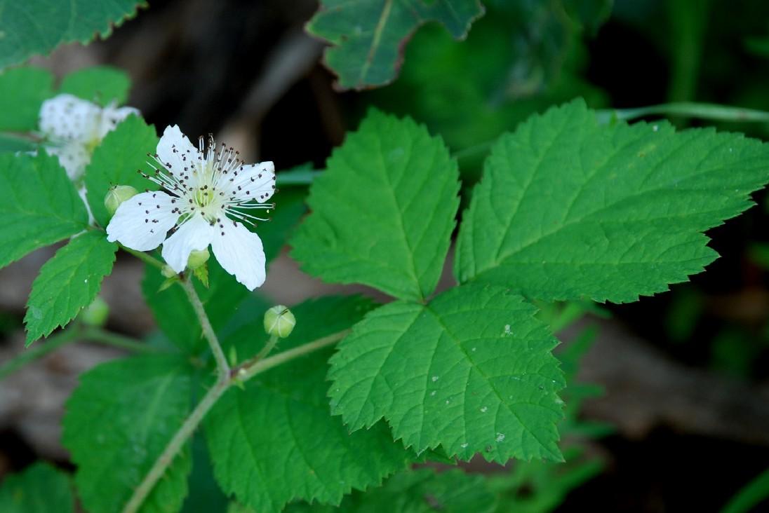 Rubus caesius 5