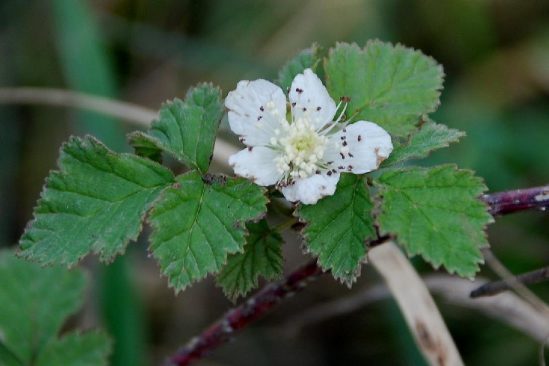 Rubus caesius 6