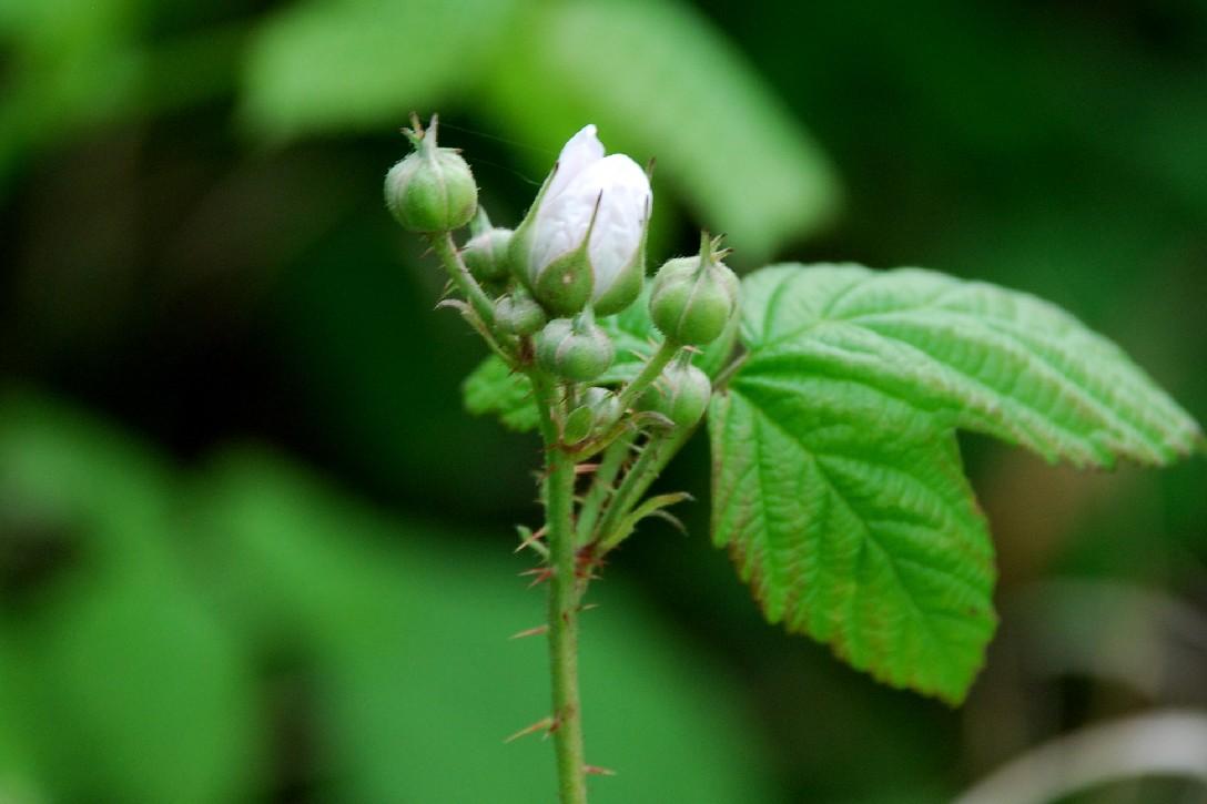 Rubus caesius 8