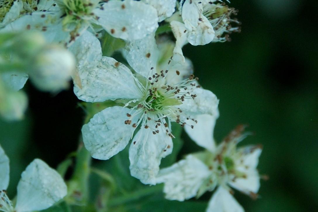 Rubus canescens 7