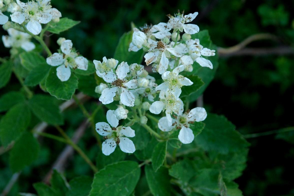 Rubus canescens 8