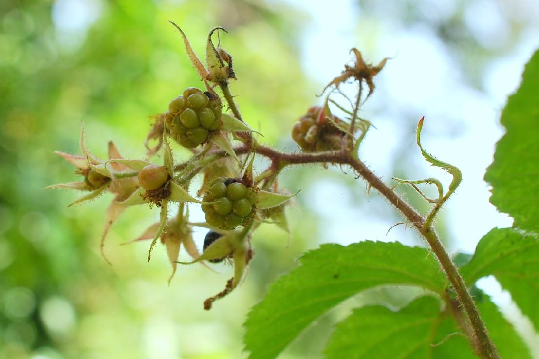 Rubus sp. 13