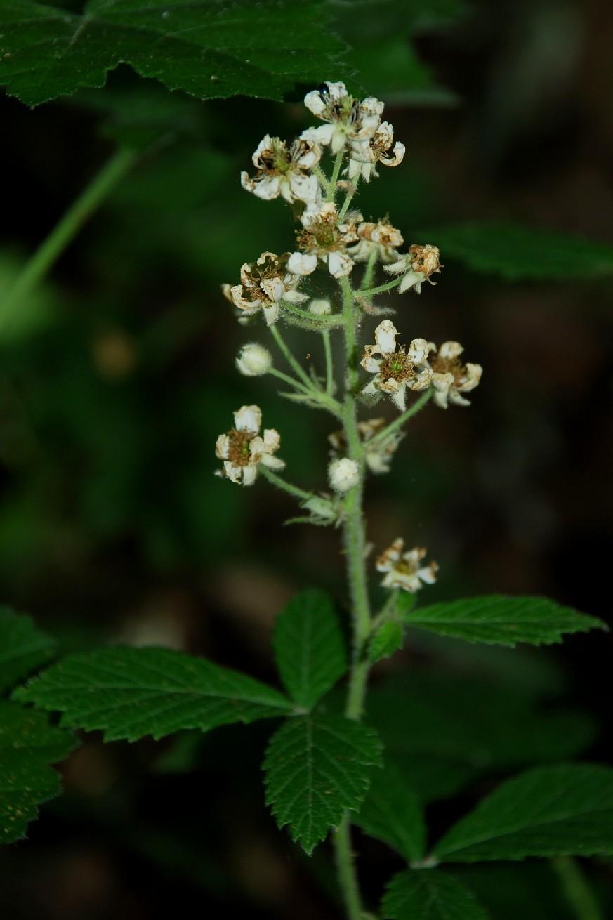 Rubus sp. 4