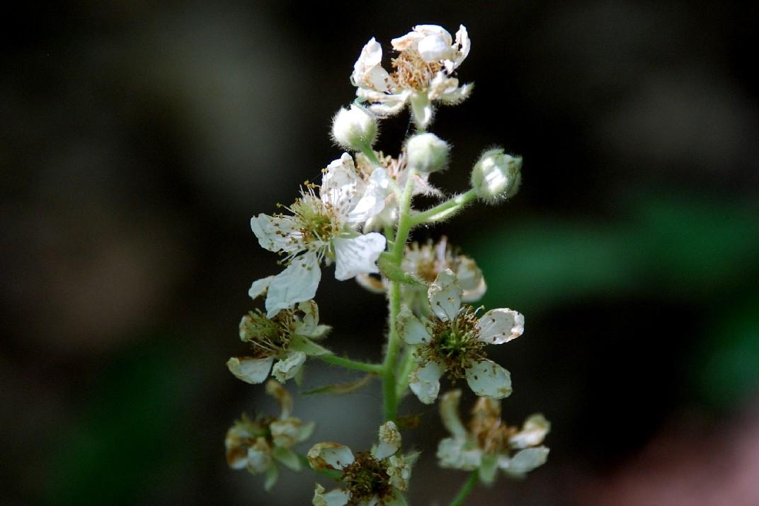 Rubus sp. 9