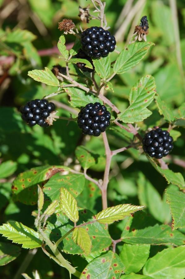 Rubus ulmifolius 10