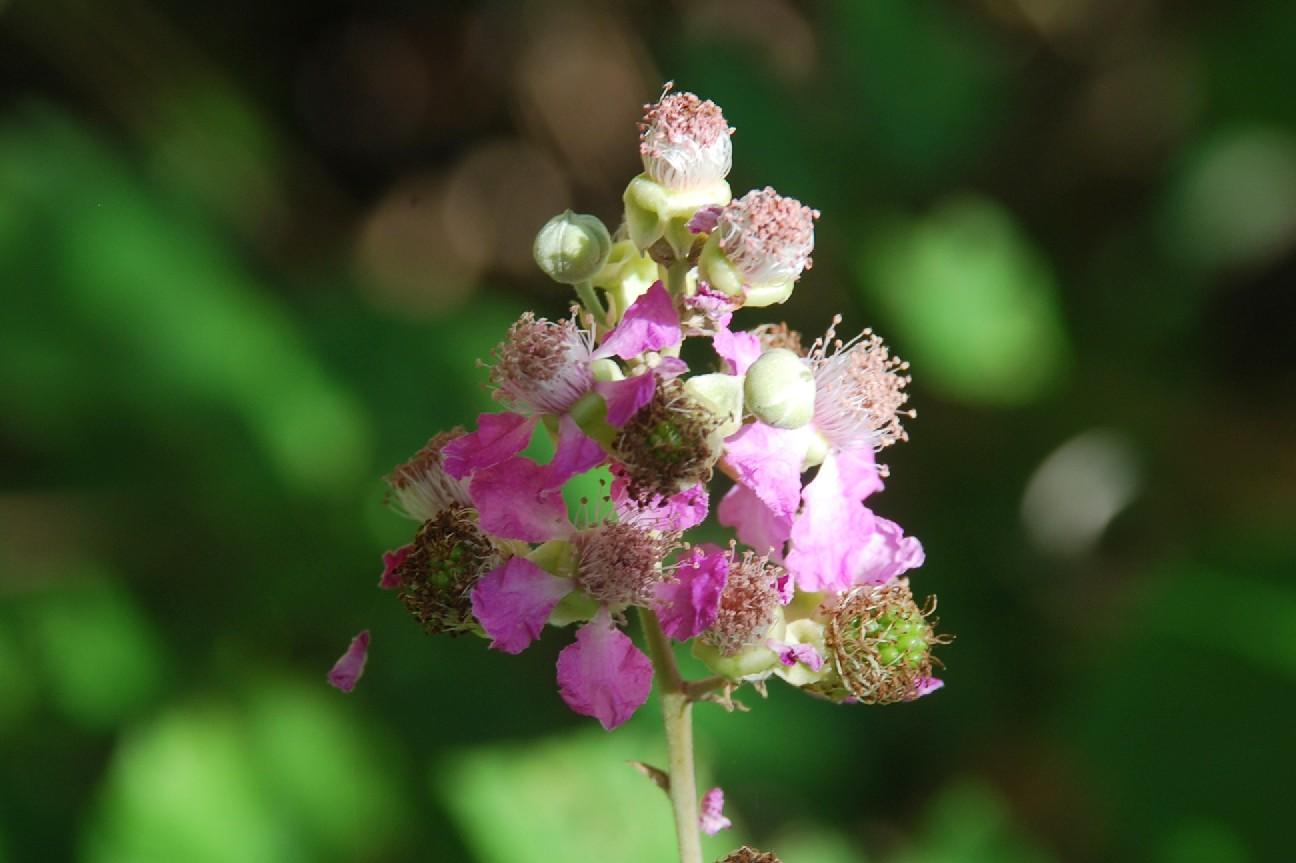 Rubus ulmifolius 11