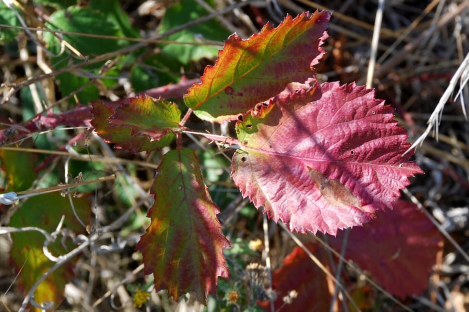 Rubus ulmifolius 14