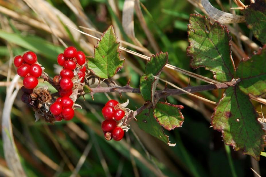 Rubus ulmifolius 15
