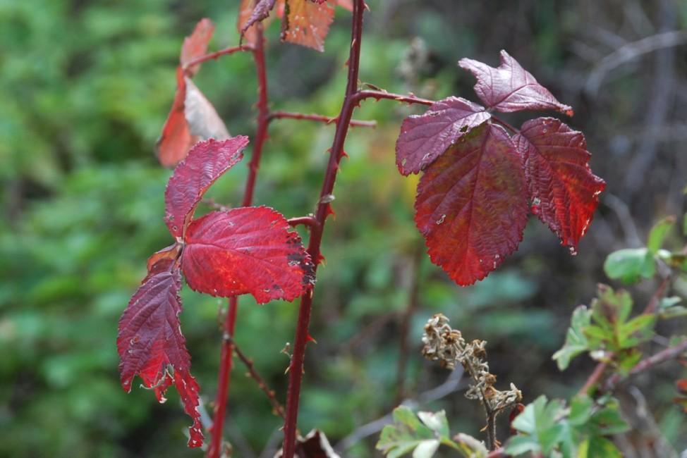 Rubus ulmifolius 17