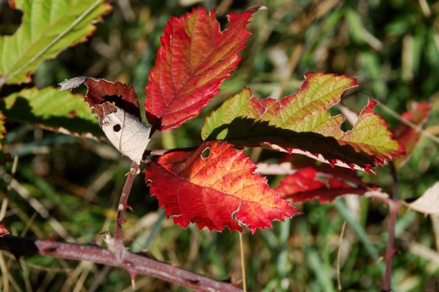 Rubus ulmifolius 18