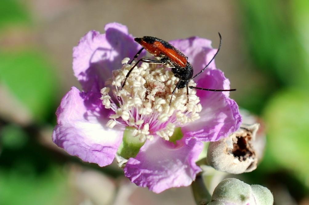 Rubus ulmifolius 20