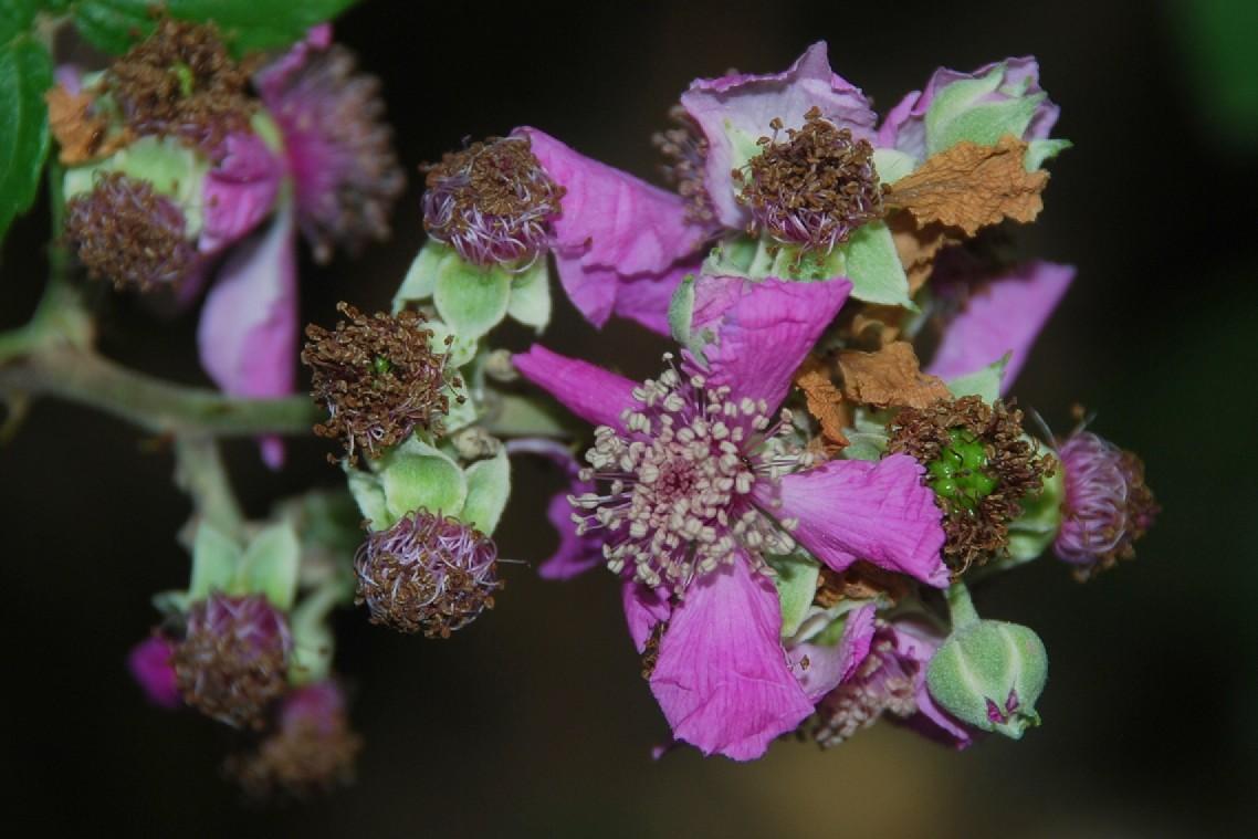 Rubus ulmifolius 22