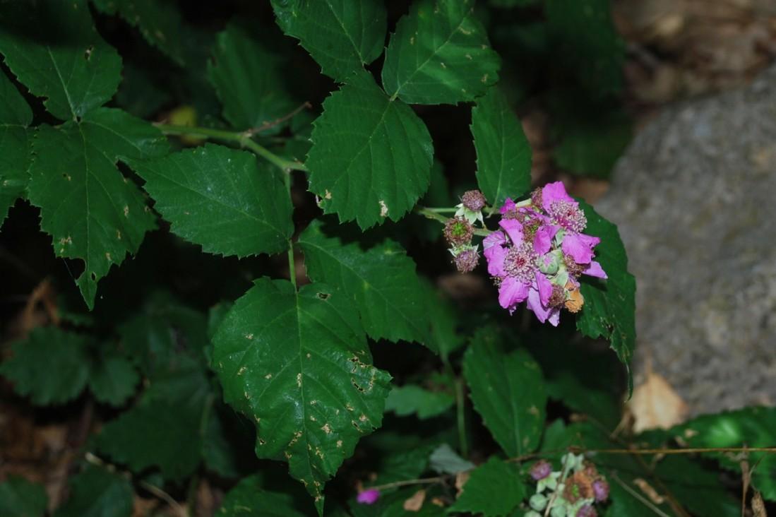 Rubus ulmifolius 23