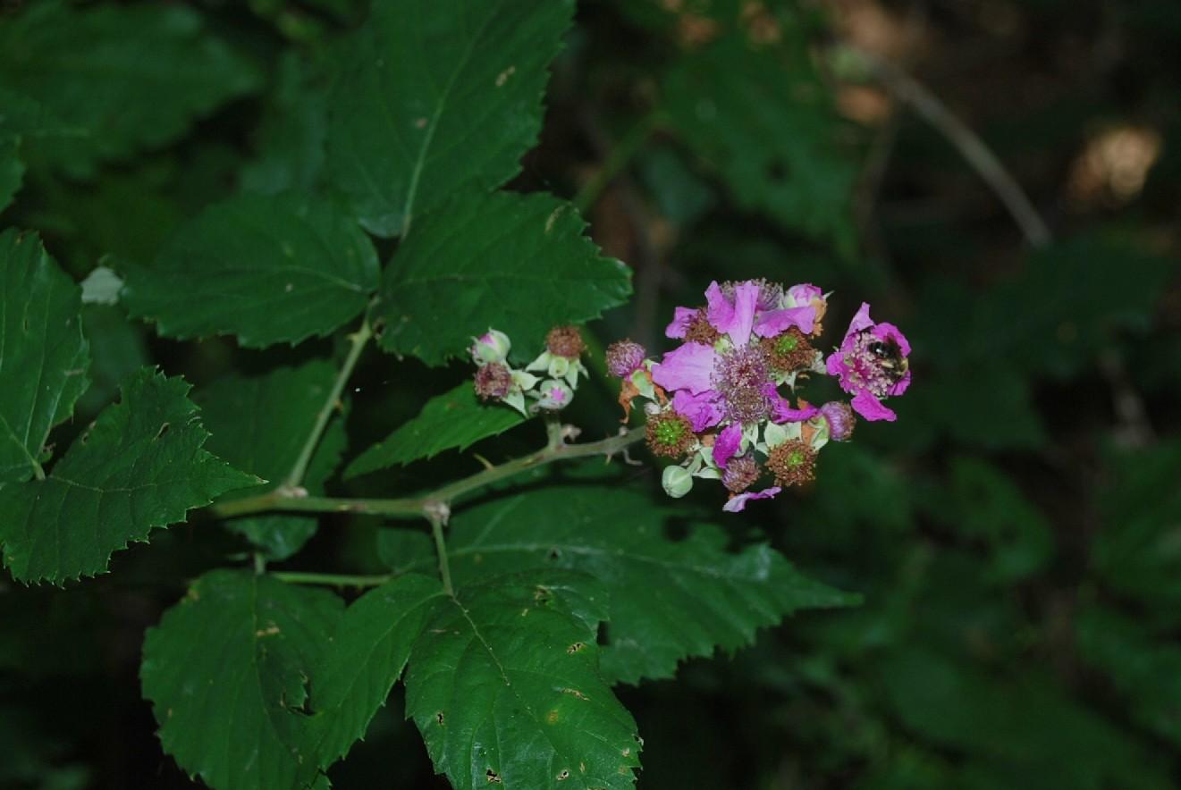 Rubus ulmifolius 24