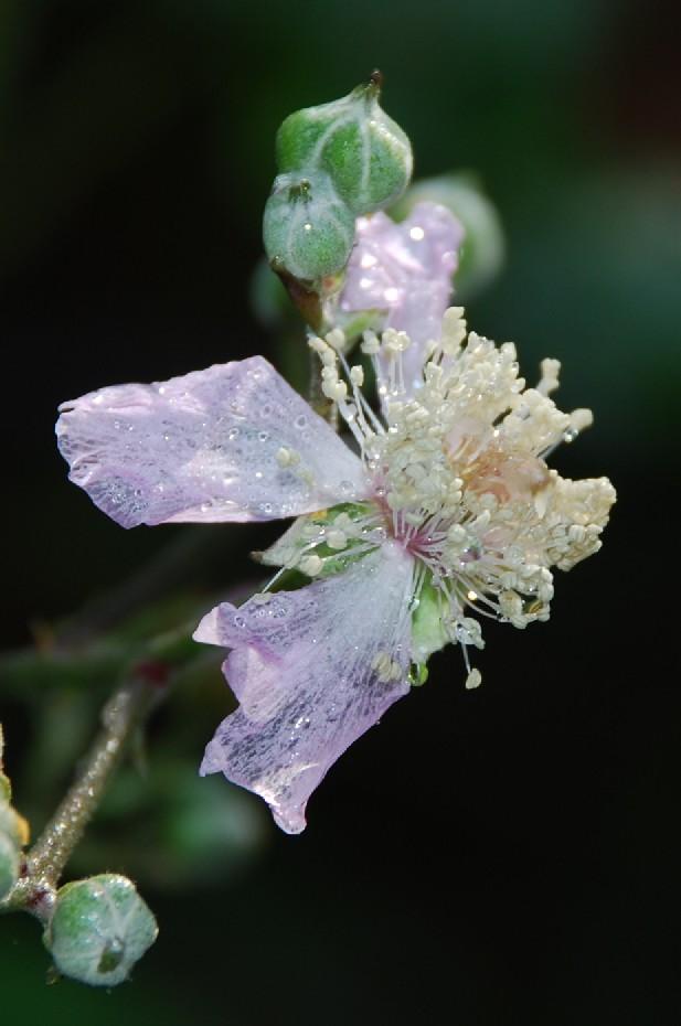 Rubus ulmifolius 5