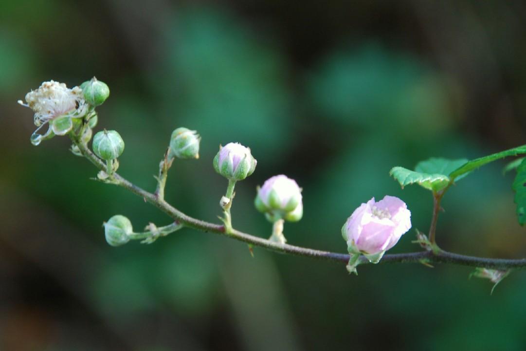 Rubus ulmifolius 6