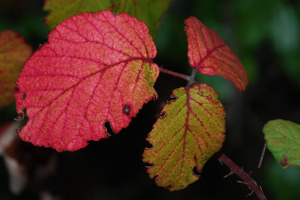 Rubus ulmifolius 7