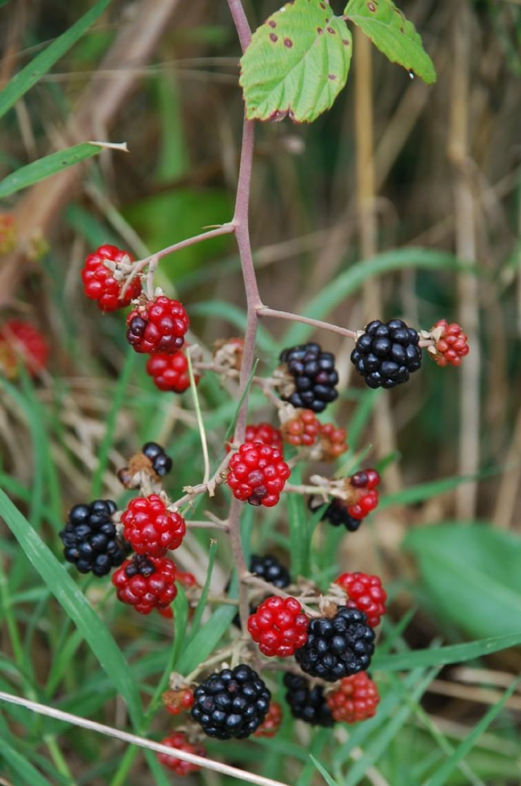 Rubus ulmifolius 8
