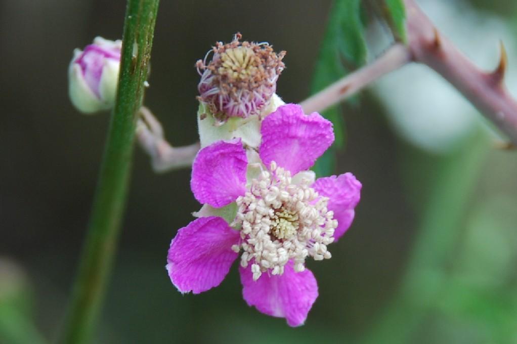 Rubus ulmifolius 9
