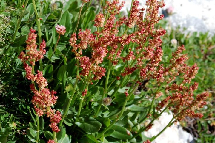 Rumex acetosa subsp. acetosaRumex acetosa subsp. acetosa
