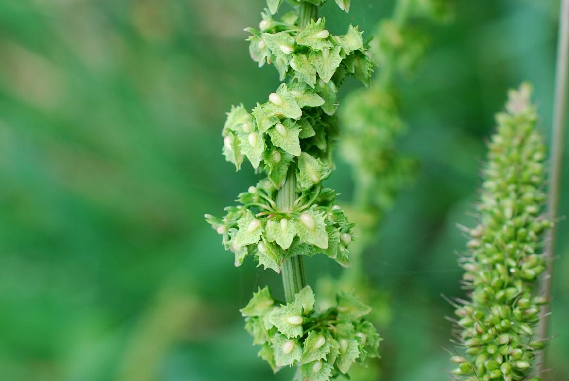 Rumex obtusifolius subsp. obtusifolius 17