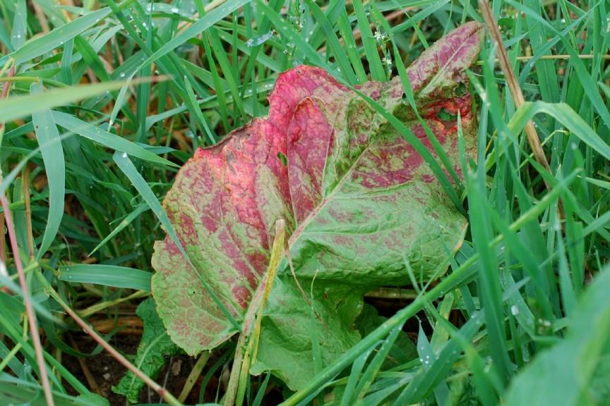 Rumex obtusifolius subsp. obtusifolius 18
