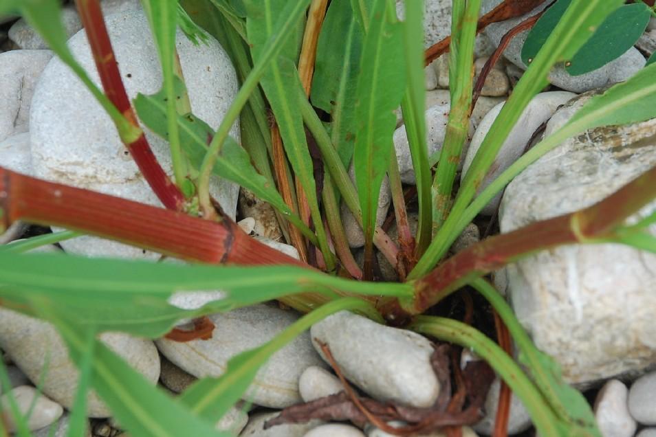 Rumex palustris 15