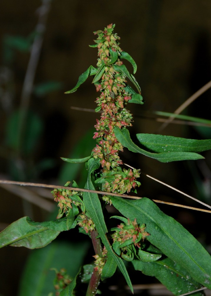 Rumex palustris 2