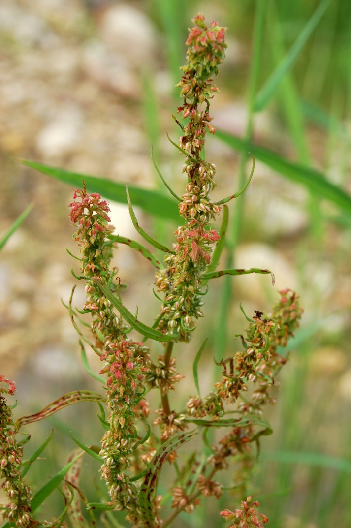 Rumex palustris 21