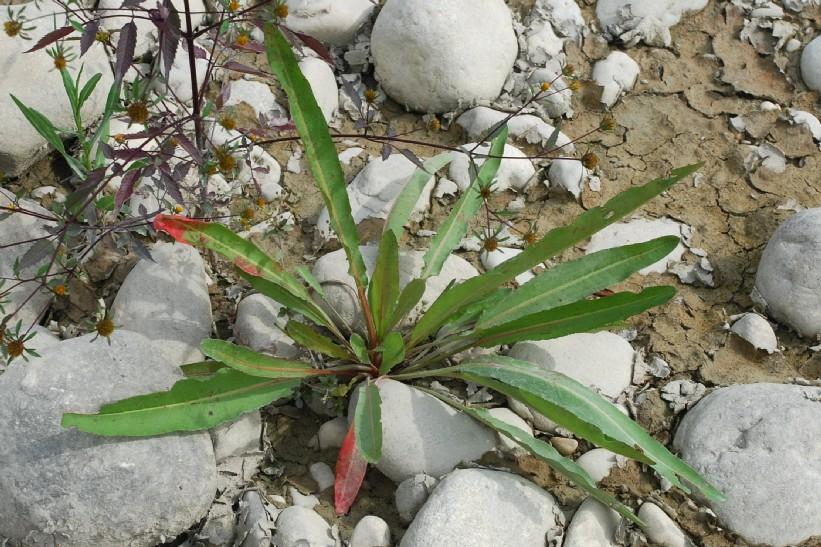 Rumex palustris 24