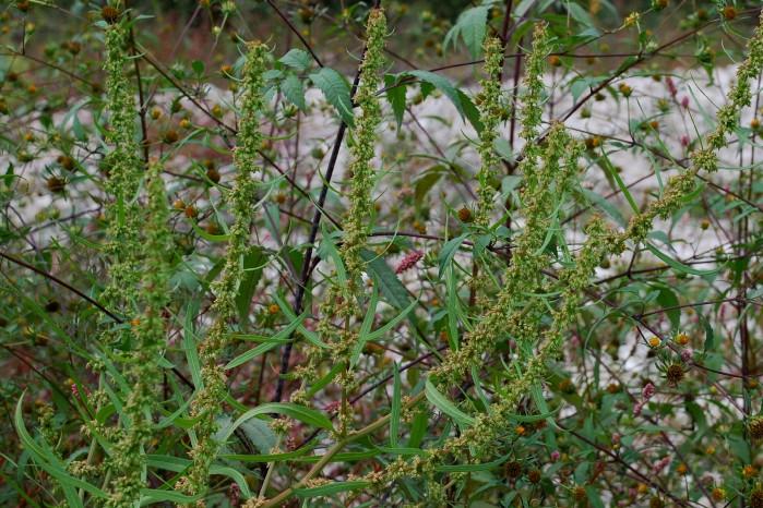 Rumex palustris 5