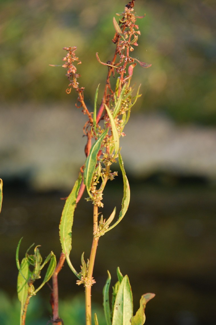 Rumex palustris 8