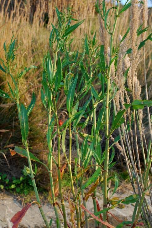Rumex palustris 9