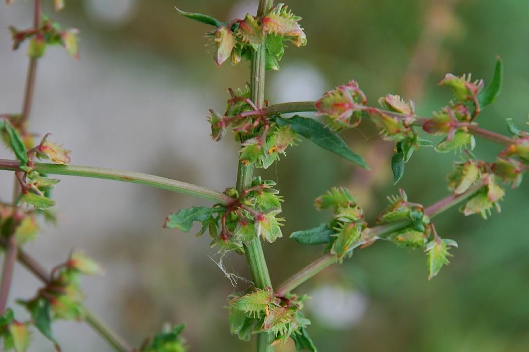Rumex pulcher subsp. pulcher 11