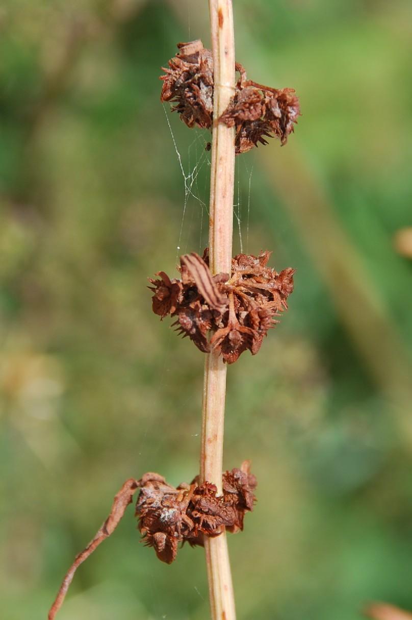 Rumex pulcher subsp. pulcher 7
