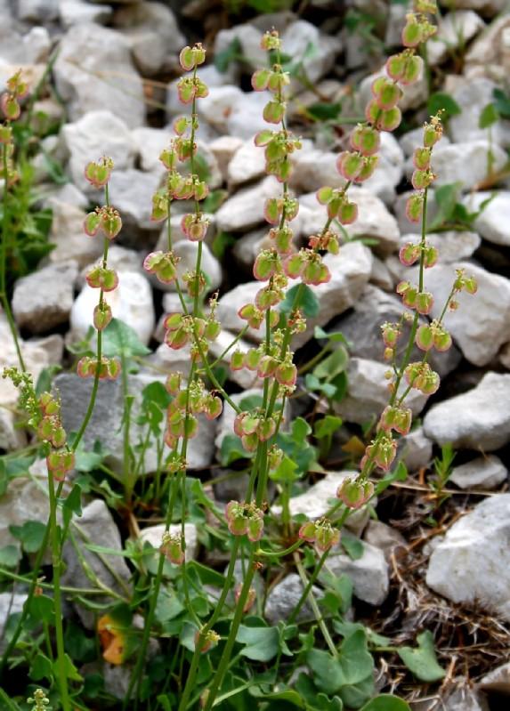 Rumex scutatus subsp. scutatus