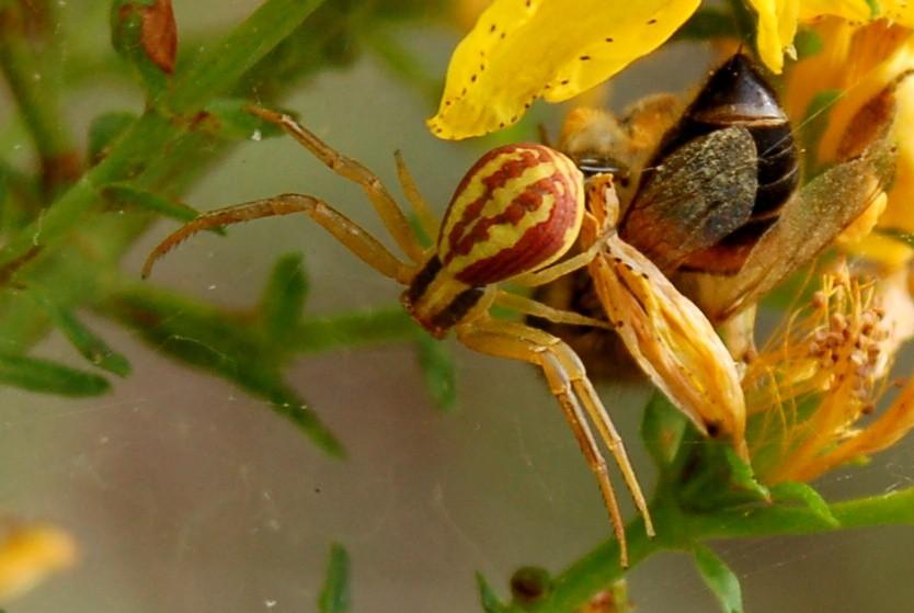 Runcinia grammica - Thomisidae