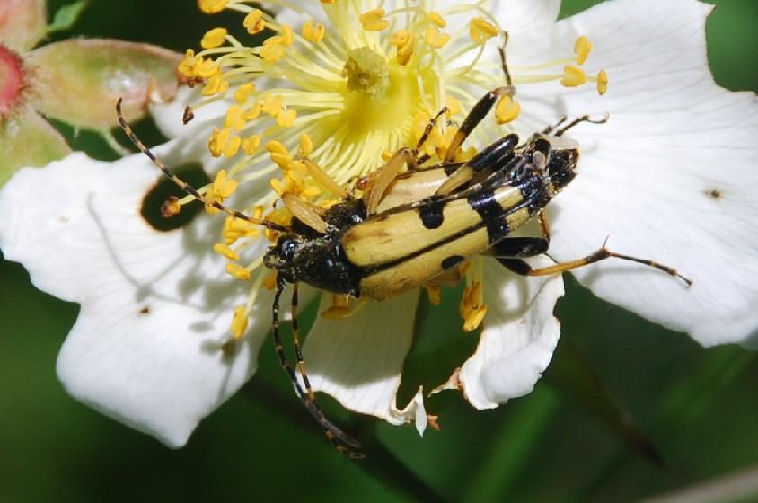 Rutpela maculata - Cerambycidae