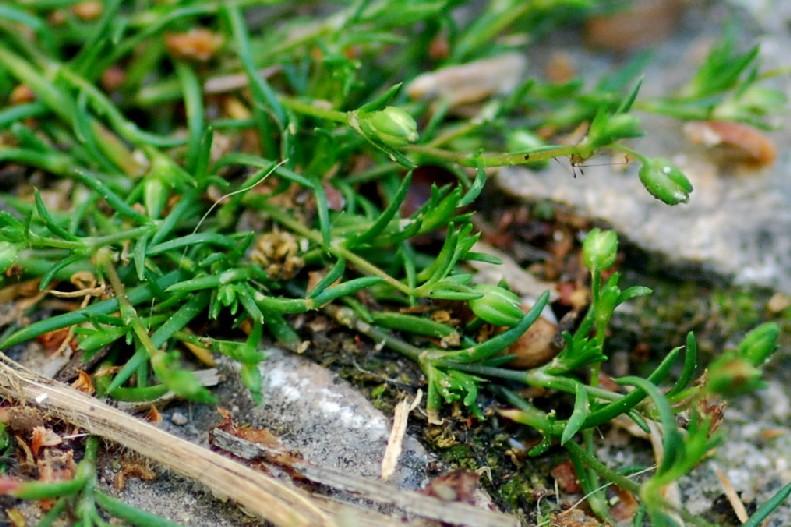 Sagina apetala subsp. apetala