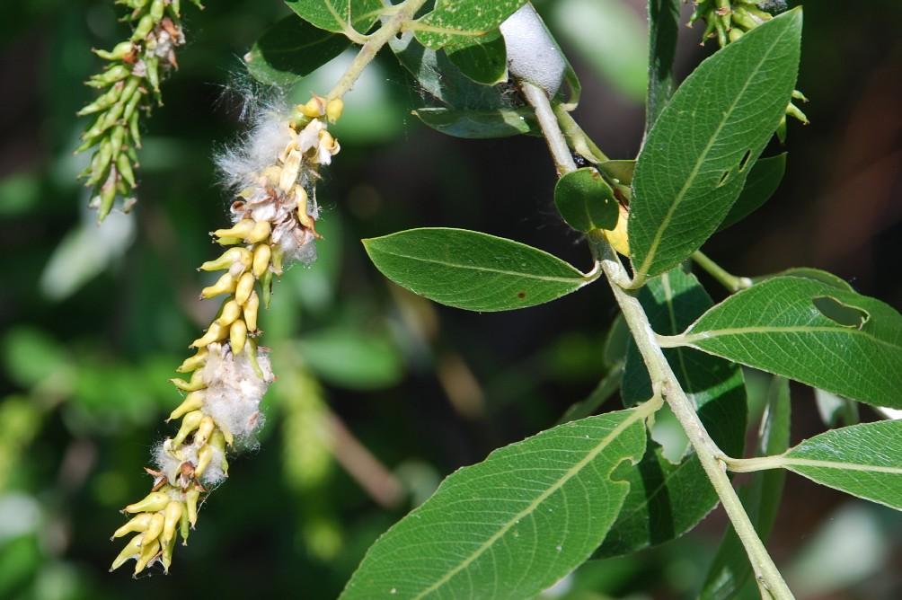 Salix alba 7