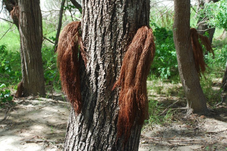 Salix alba 8