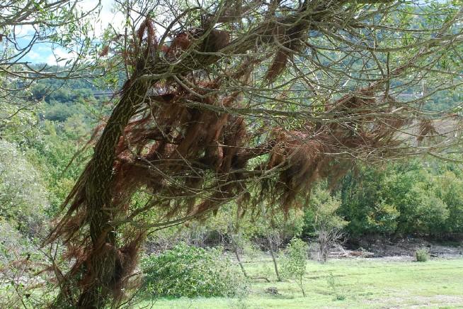 Salix alba 9