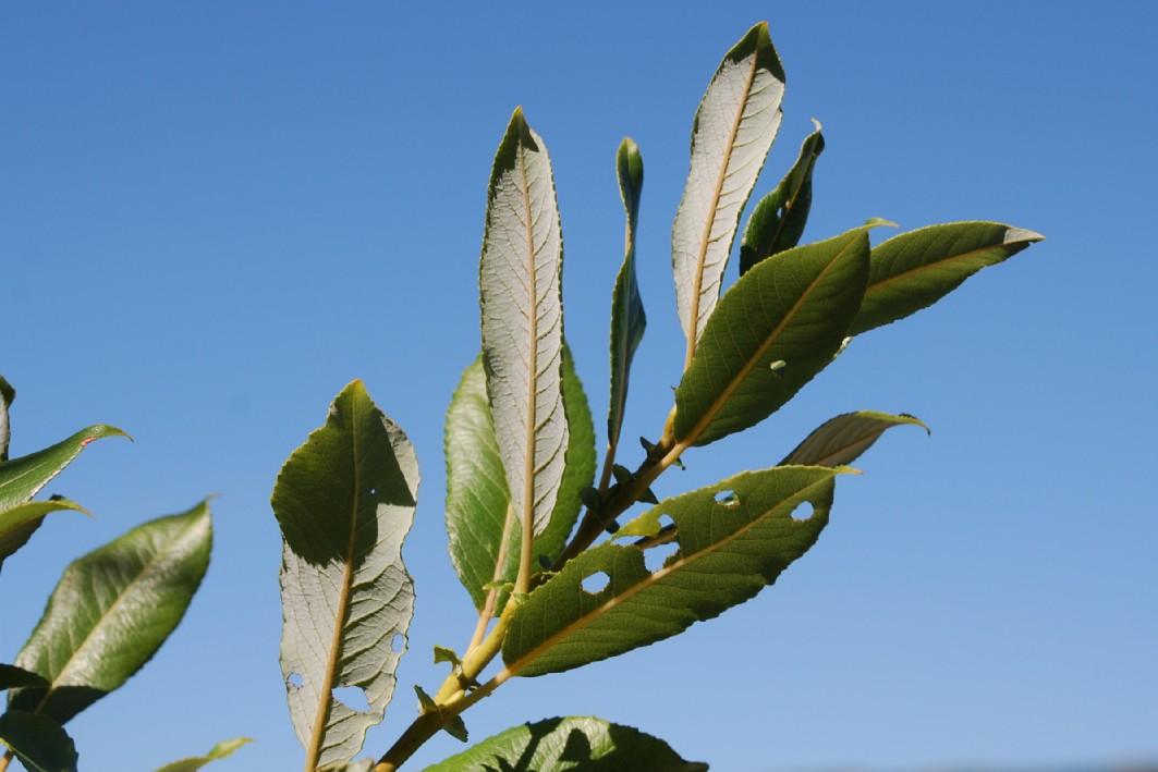 Salix apennina 14