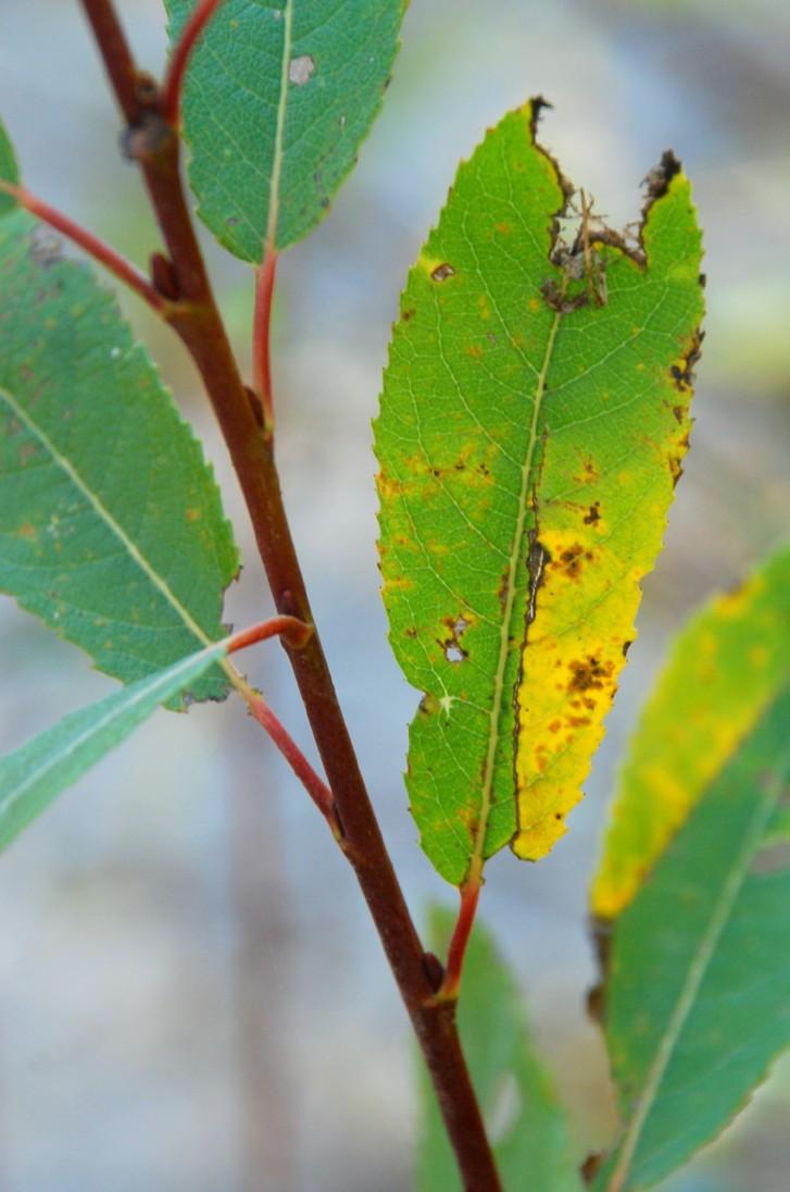 Salix apennina 16