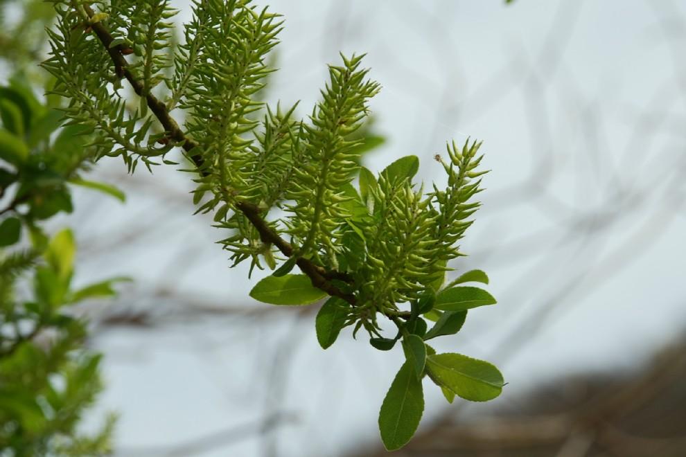 Salix apennina