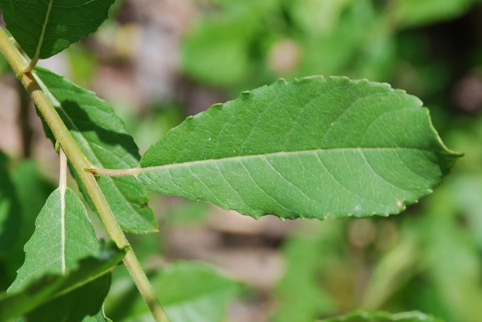 Salix apennina 8
