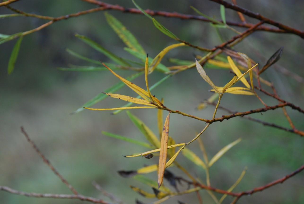 Salix eleagnos subsp. eleagnos 4