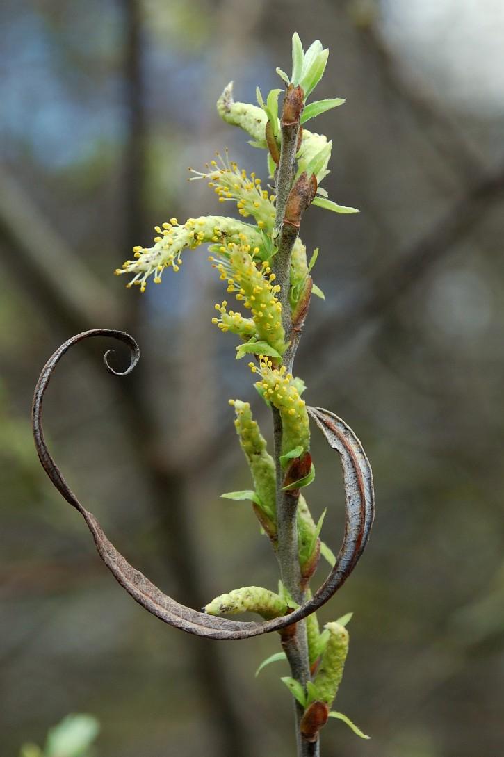Salix eleagnos subsp. eleagnos