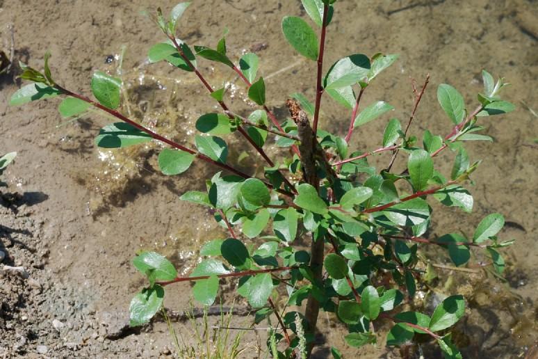 Salix purpurea subsp. purpurea 10