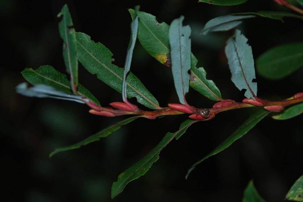 Salix purpurea subsp. purpurea 4